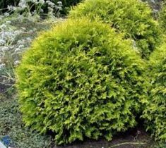 Can be put in a container. Golden Globe Dwarf Arborvitae ( Thuja )