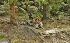 Pixabay - Mehr als Millionen Gratis-Fotos zum Herunterladen Tiger, Animals, Animales, Animaux, Animal, Animais