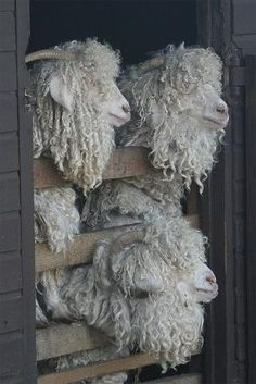 Obviously not sheep, but I totally need some Angora goats on my fiber farm! Even if the idea of shearing these guys make my head hurt. ready for their 6 monthly shearing Cute Baby Animals, Farm Animals, Animals And Pets, Funny Animals, Wild Animals, Alpacas, Beautiful Creatures, Animals Beautiful, Wooly Bully