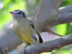bico-chato-de-orelha-preta (Tolmomyias sulphurescens) por Fábio Luís Mello | Wiki Aves - A Enciclopédia das Aves do Brasil
