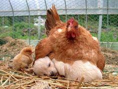 Chickens...