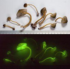 'Magic Mushrooms' Reveal Bioluminescence