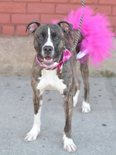 """TO BE DESTROYED 4/11/15 - REMY - A1032181 - BROOKLYN, NY -    Remy is a gorgeous brindle beauty who was brought to the ACC by former owners who had all kinds of time to bring her up the right way, but then ran out of time on 4/4. That excuse seems to be cropping up quite a bit lately, as if people are deciding that """"spring cleaning"""" means """"surrender the dog to a high kill shelter."""" Remy is friendly, spayed, and should make an excellent companion for"""