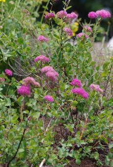 california native shade plant