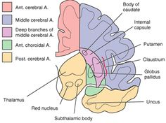 Cortical locations supplied by cerebral arteries #2