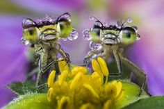 Damselflies covered in dew rest on a wild flower by the Po River, Northern Italy Photograph: Alberto Ghizzi Panizza/Barcroft Images