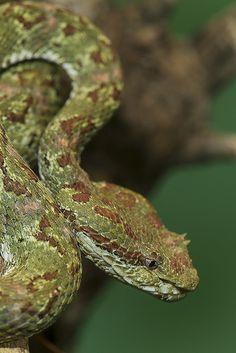 Eyelash Viper by Official San Diego Zoo, via Flickr