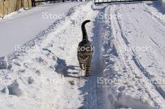 Cat Walk, Walk On, Snow Pictures, Photography Portfolio, Cats, Walkway, Gatos, Snow Photography, Cat