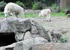 Wolf family. Wolves.