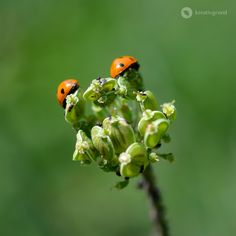#ladybugs #summer
