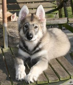 Why would you want a wolf-dog in your life? Northern Inuit Dogs are savages trying to take over your home! Cute Puppies, Cute Dogs, Dogs And Puppies, Doggies, Animals And Pets, Baby Animals, Cute Animals, Rhodesian Ridgeback, Weimaraner