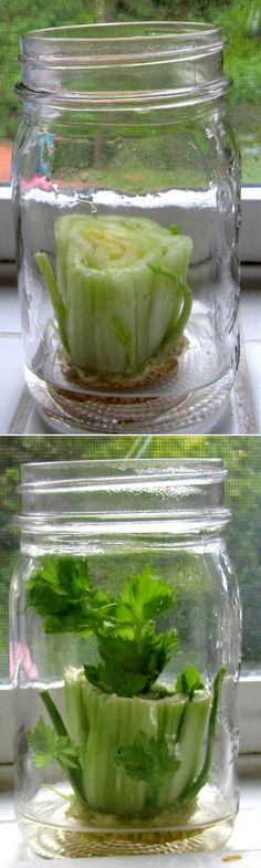 How to grow celery from celery.... I don't love it. But it seems cool to watch. Kids would like watchin too