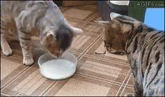 Katzen trinken gemeinsam Milch