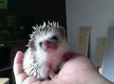 """Sweetie the Hedgehog say's """"good morning! Pygmy Hedgehog, Cute Hedgehog, Cute Animal Memes, Cute Animal Photos, Cute Images, Cute Pictures, Hedgehog House, Cute Hamsters, Cute Little Animals"""