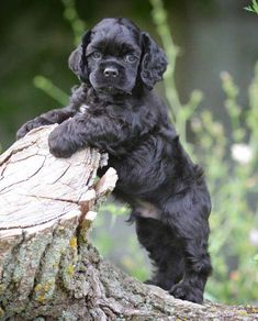 Find Cocker Spaniel Puppies in your area and helpful tips and info. All purebred Cocker Spaniel puppies are from AKC registered parents. Spaniel Puppies For Sale, Cocker Spaniel Puppies, Cute Puppies, Black Cocker Spaniel, American Cocker Spaniel, Pet Dogs, Dog Cat, Doggies, Animals Beautiful