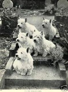 4 Westie West Highland Terrier Dogs in A Garden 1934 Vintage Dog Photo Print