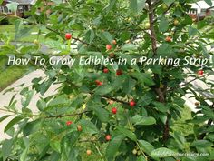 How to Grow Edibles in a Parking Strip:  What if the parking strip could be both beautiful and productive at the same time?