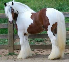 Tristan Westmoreland Gypsy Vanner Horses For Sale Big Horses, Cute Horses, Horses For Sale, Horse Love, Most Beautiful Horses, All The Pretty Horses, Animals Beautiful, Beautiful Beautiful, Clydesdale
