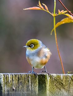 A Silvereye.. (Photo By: Noelle Bennett.)