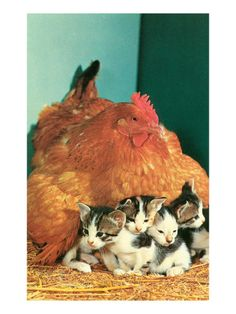 Two hens with the kittens snuggled and it is cute.