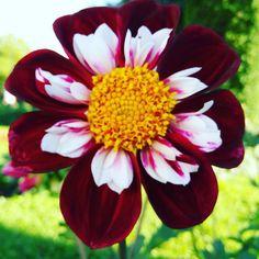 #yellow #white #red / #amarillo #blanco #rojo. #flowers #flores #nature #naturaleza