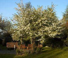 Malus sieboldii (paradisæble) - evt som supplement til hjortetaktræerne eller som alternativ. Tættere end Hjortetak, mindre skulpturelt, mere romantisk træ