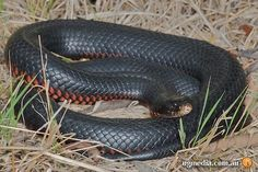 Red bellied black snake tattoo