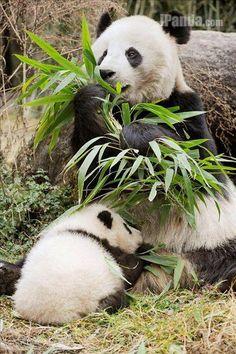 Cub cuddling with Panda Mom  iPanda.com