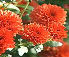 Fall Mums: Your Ultimate Care Guide                                                                                                                                                                                 More