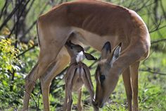 The underappreciated impala – Blog – South African Tourism