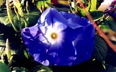 Trichterwinde 'Heavenly Blue' (Saatgut)