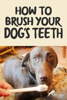 Periodontal disease is the most preventable health condition in dogs. Knowing how to brush your dog's teeth could add years to his life! Dog Health Tips, Get Up And Walk, Dog Teeth, Pet Life, Teeth Cleaning, Dental Health, Dog Food Recipes, Yorkies, Dogs