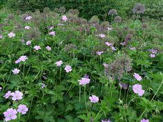 Gillar det skira intrycket med nävor (geranium) och överblommade alliumlökar (allium)