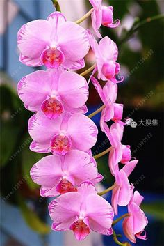 100pcs Cymbidium orchid, Cymbidium seeds bonsai flower seeds, 22 colors to choose, plant for home garden