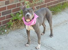 GONE --- Brooklyn Center   FAITH - A1010418   FEMALE, GRAY, PIT BULL MIX, 3 yrs STRAY - STRAY WAIT, NO HOLD Reason STRAY  Intake condition EXAM REQ Intake Date 08/13/2014, From NY 11234, DueOut Date 08/16/2014,   https://www.facebook.com/Urgentdeathrowdogs/photos/pb.152876678058553.-2207520000.1408064330./854943887851825/?type=3&theater