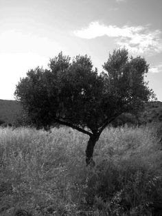 Olive Tree - Greece