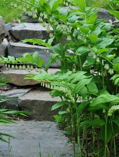 Three Dogs in a Garden: Made for the Shade: Solomon Seal