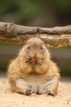 <3 Prairie Dog Carrot Lunch..................Grandmother had one as a pet when she was a child. @ 1897