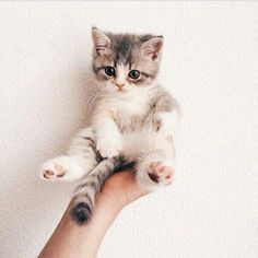 Cute Cats Grey Cute Kittens Playing With Puppies Animals And Pets, Baby Animals, Funny Animals, Cute Animals, Funny Cats, Animals Images, Animals Kissing, Animal Funnies, Pretty Animals