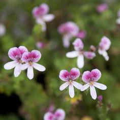 Geranium 'Pelargonium crispum' scented geranium
