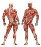 Женская мышечная анатомия системы - Скачивайте Из Более Чем 62 Миллионов Стоковых Фото, Изображений и Иллюстраций высокого качества. изображение: 51405110