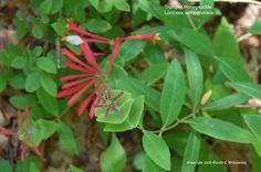 Lonicera sempervirens - Trumpet Honeysuckle.