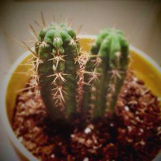 #Cactus en #Casa #Madrid #Green #Verde #Maceta #Amarillo #Spain #SanPedro #Aunion #Cactous ©www.aunioncreatividad.com
