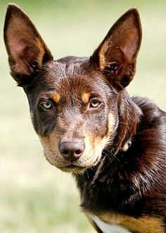 The Kelpie is an Australian sheep dog successful at mustering and droving with little or no command guidance. They are medium-sized dogs and come in a variety of colours. Big Dogs, I Love Dogs, Cute Dogs, Australian Dog Breeds, Australian Sheep, Australian Animals, All Small Dog Breeds, Aussie Dogs, Farm Dogs