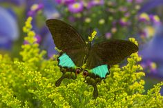 Jungle Jade Tropical Swallowtail Butterfly, Papilo Karna irauana, photographed by: Darrell Gulin