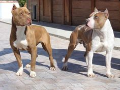 American Pitbull terriër and American Staffordshire terriër. Note: the AKC breed standard for the American Staffordshire terriër was based on Colby's Primo, an American Pitbull terriër. They both share the same bloodlines and are in fact, although bred at different standards, the exact same dogs..
