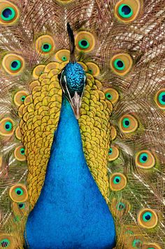 """""""Peacock"""" by Lee Adcock, via 500px."""