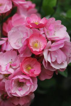 °rosa° Strawberry rose