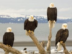 Hi!   From Bald Eagles to white heads.