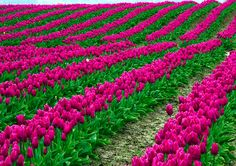 If this is a real place, and not all computer generated, I want to go there and walk in the tulips!